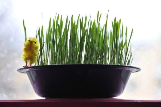 Lautasella kasvavia vehnänoraita, reunalla pääsiäistipu.