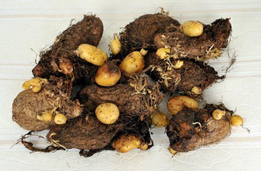 Vanhoja perunoita, joiden päällä kasvaa pieniä uusia perunoita.