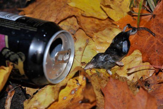 Kuollut, vahingoittunut päästäinen syksyisten lehtien päällä mustan oluttölkin vieressä.