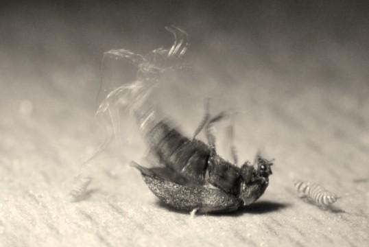 Vyöturkiskuoriainen sätkimässä selällään lattialla.