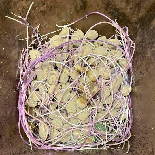 Biojäteastia reunasta reunaan täynnä perunoita, joissa on erittäin pitkät idut.